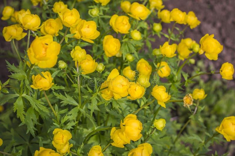 Φυσικό υπόβαθρο του όμορφου κίτρινου globular europaeus Trollius λουλουδιών στοκ φωτογραφία με δικαίωμα ελεύθερης χρήσης