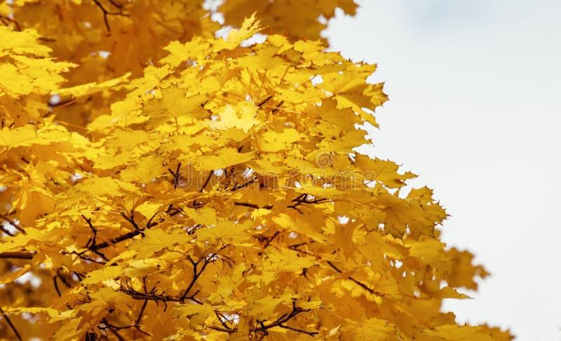 Φυσικό υπόβαθρο φθινοπώρου με τα κίτρινα φύλλα σφενδάμου, εκλεκτικά FO στοκ εικόνες