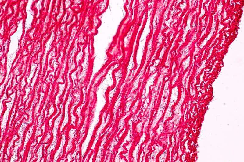 Φυσιολογία των αρτηριών και των φλεβών για την εκπαίδευση στο εργαστήριο στοκ φωτογραφία