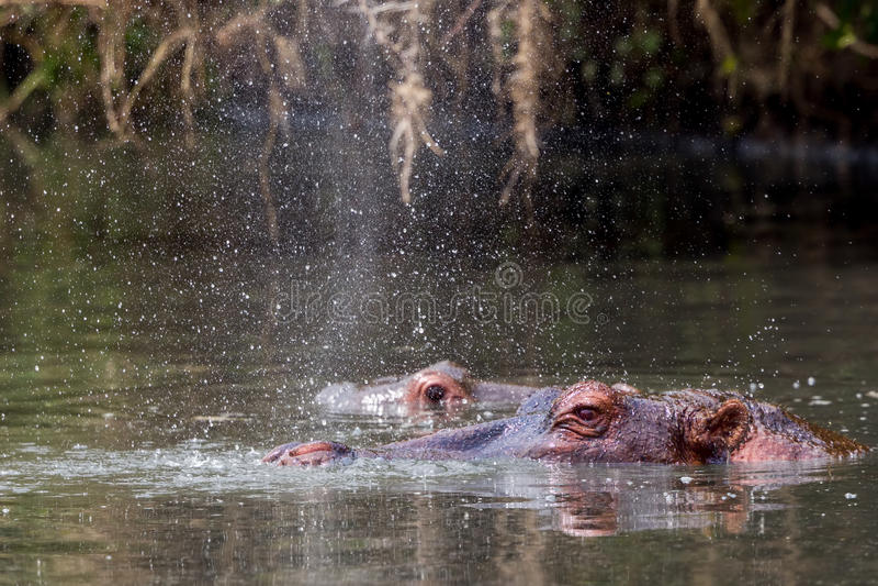 Φυσώντας νερό Hippopotamus στοκ φωτογραφία με δικαίωμα ελεύθερης χρήσης