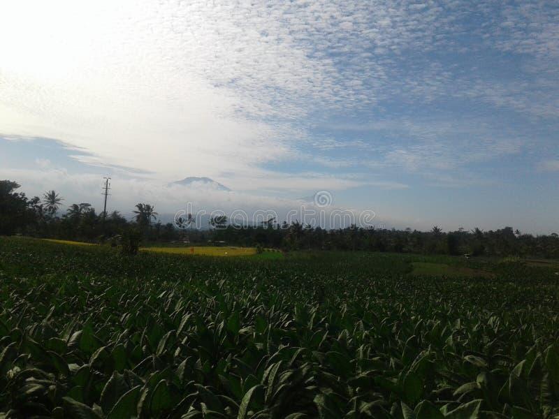 Φυτά καπνός centraljava indonesia στοκ εικόνα με δικαίωμα ελεύθερης χρήσης