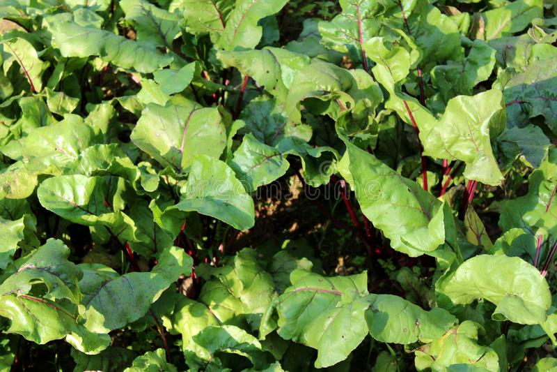Φυτά παντζαριών ή beta vulgaris με τα μεγάλα παχιά φύλλα και τους σκούρο κόκκινο μίσχους που αυξάνονται στον τοπικό κήπο στοκ φωτογραφίες με δικαίωμα ελεύθερης χρήσης