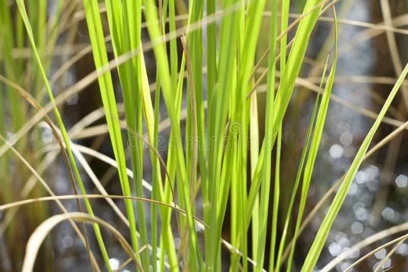 Φυτά ρυζιού στοκ εικόνες
