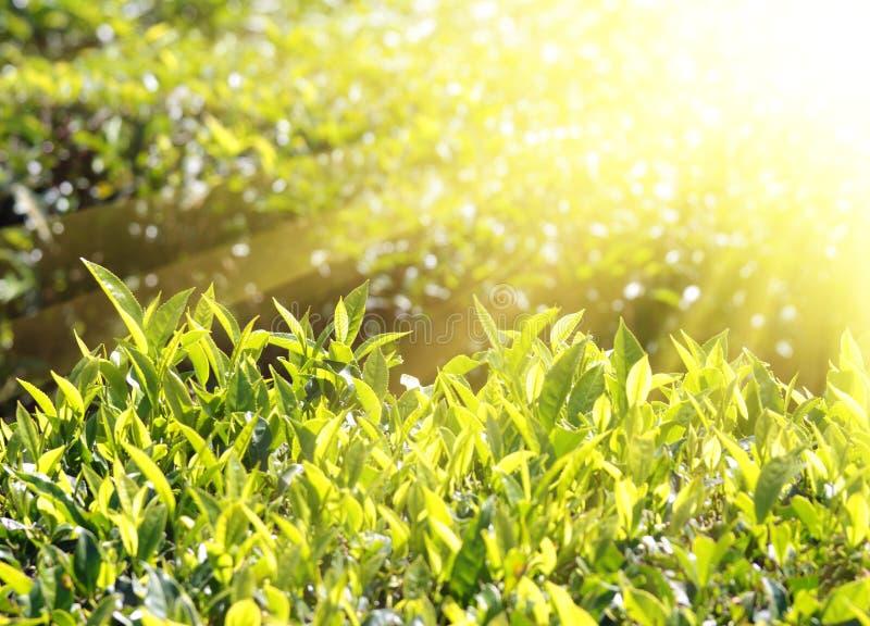 Φυτά τσαγιού στις ηλιαχτίδες στοκ φωτογραφία με δικαίωμα ελεύθερης χρήσης