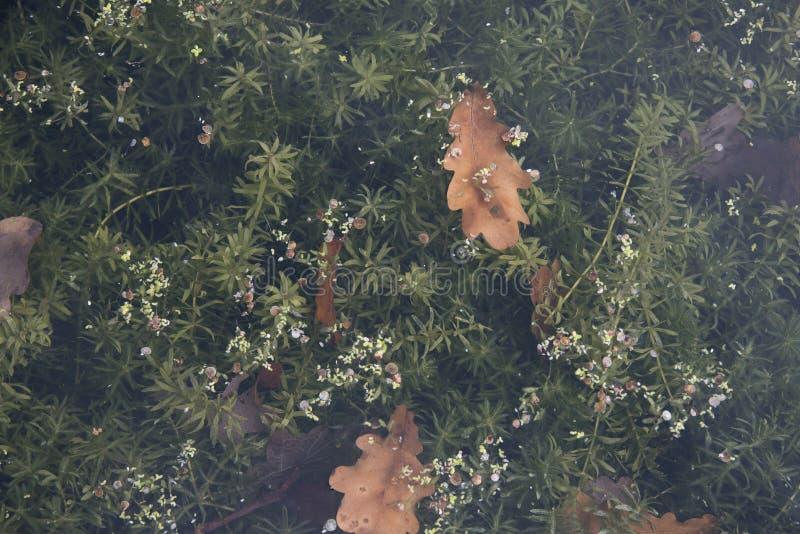 Φυτά υποβρύχια με τα φύλλα που επιπλέουν στην κορυφή στοκ φωτογραφία με δικαίωμα ελεύθερης χρήσης