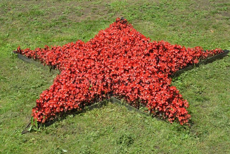 Φυτά begonia πάντα να ανθίσει υπό μορφή κόκκινου αστεριού σε έναν χορτοτάπητα στοκ εικόνα