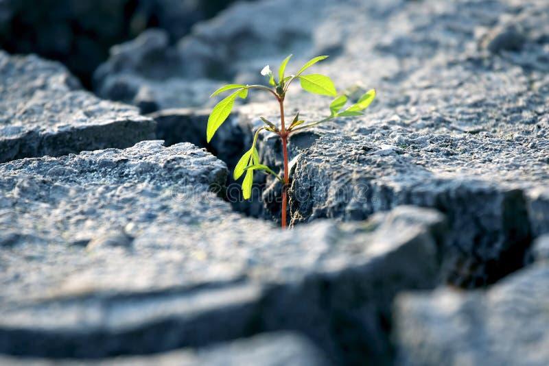 Φυτά Sprout που καλλιεργούνται σε πολύ ξηρή ραγισμένη γη στοκ εικόνες