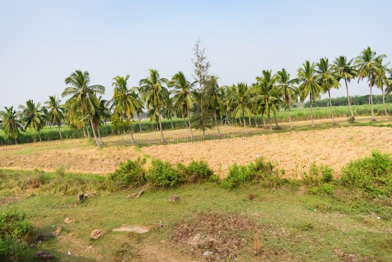 Φυτεία δέντρων καρύδων πλησιέστερα στον τομέα ορυζώνα που εξετάζει τρομερό την ηλιόλουστη ημέρα στοκ φωτογραφία με δικαίωμα ελεύθερης χρήσης