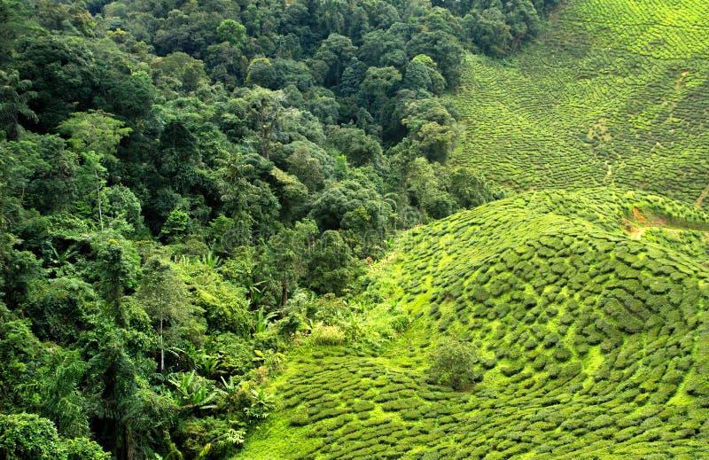 Φυτεία και δάσος τσαγιού στοκ εικόνες