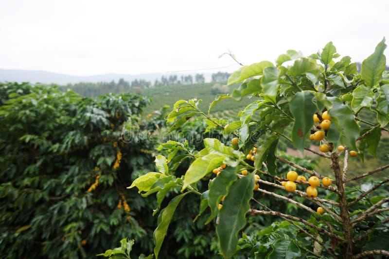 Φυτεία καφέ στην αγροτική πόλη του Carmo de Minas Βραζιλία στοκ εικόνα
