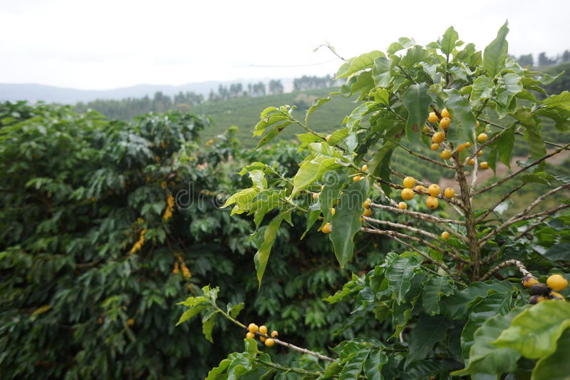 Φυτεία καφέ στην αγροτική πόλη του Carmo de Minas Βραζιλία στοκ εικόνες