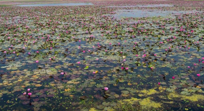Φυτεία κρίνων νερού σε μια λίμνη στοκ εικόνα