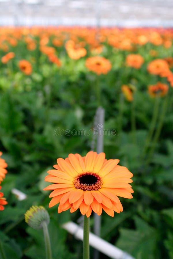 Download φυτεία μαργαριτών στοκ εικόνα. εικόνα από βιομηχανία, παραλλαγή - 2231793