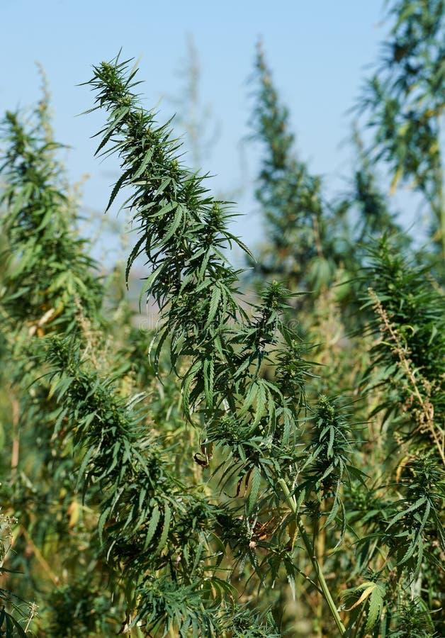 Φυτεία μαριχουάνα στοκ εικόνα με δικαίωμα ελεύθερης χρήσης
