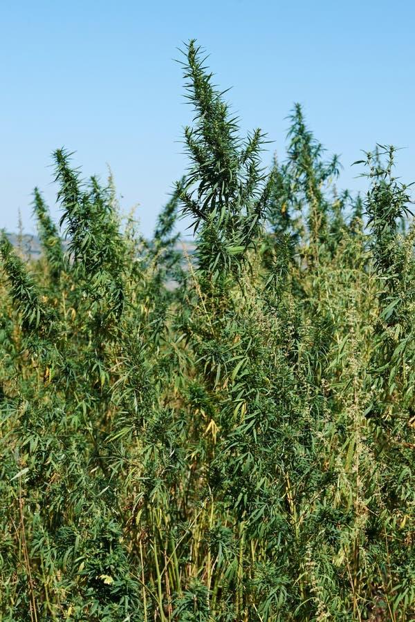 Φυτεία μαριχουάνα στοκ φωτογραφία