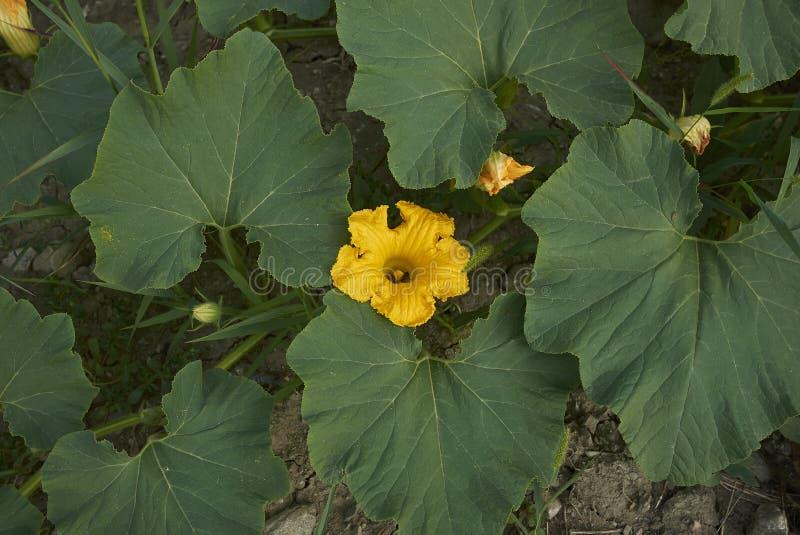 Φυτεία μεγίστων Cucurbita στοκ φωτογραφίες
