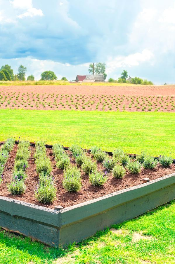 Φυτεία νέο ανθίζοντας lavender _ στοκ φωτογραφίες με δικαίωμα ελεύθερης χρήσης