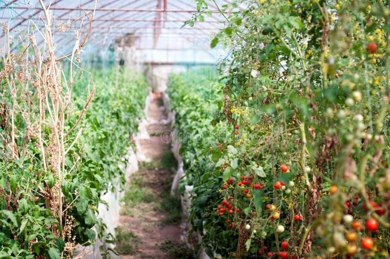 Φυτεία ντοματών κερασιών στοκ εικόνα με δικαίωμα ελεύθερης χρήσης