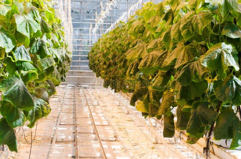 Φυτεία ντοματών στοκ φωτογραφίες με δικαίωμα ελεύθερης χρήσης