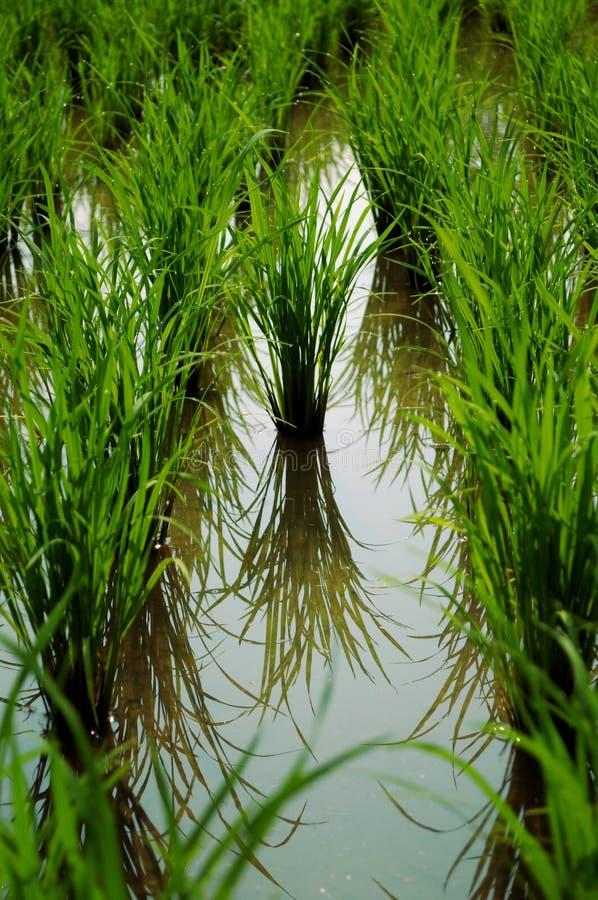 Φυτεία ρυζιού στοκ εικόνες