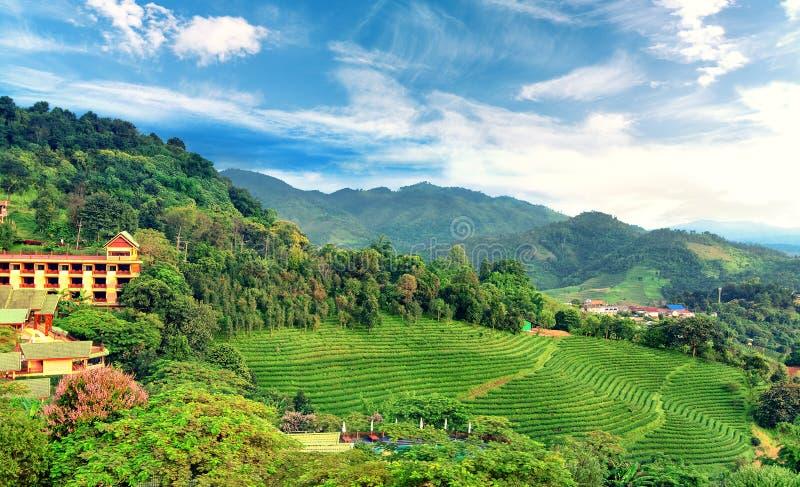 Φυτεία τσαγιού σε Doi Mae Salong σε Chiang Rai, Ταϊλάνδη στοκ φωτογραφία