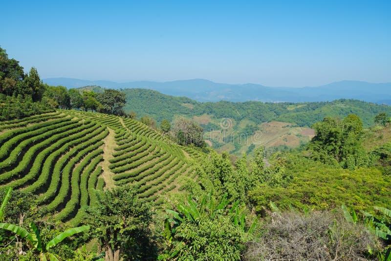 Φυτεία τσαγιού σε Doi Mae Salong, Chiang Rai Ταϊλάνδη στοκ εικόνα με δικαίωμα ελεύθερης χρήσης