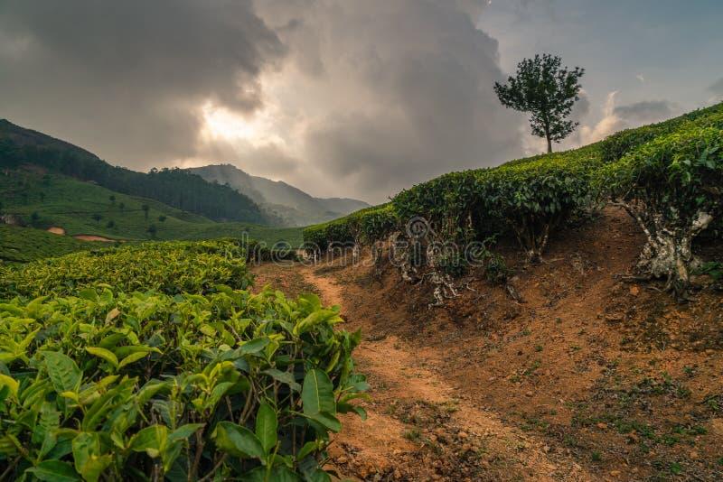 Φυτεία τσαγιού Munnar στο ηλιοβασίλεμα Κεράλα Ινδία πράσινη στοκ εικόνες