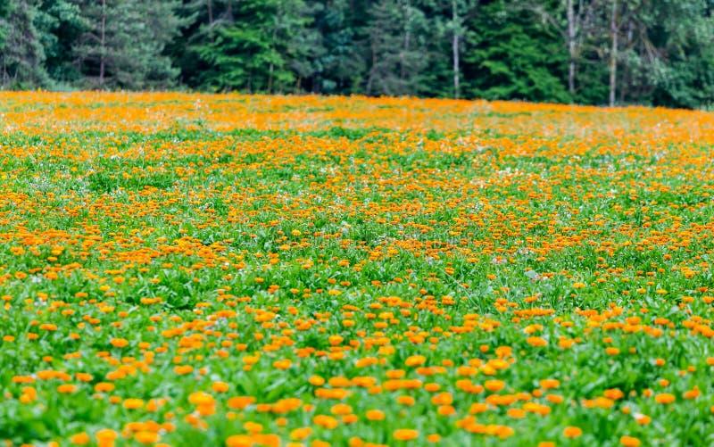 Φυτεία όμορφο marigold για την ιατρική προετοιμασία στοκ φωτογραφία