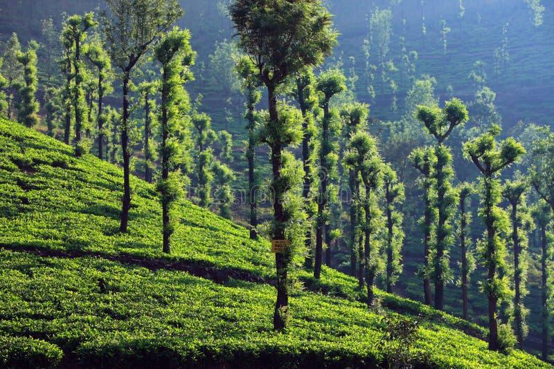 Φυτεία wayanad-τσαγιού στοκ εικόνα