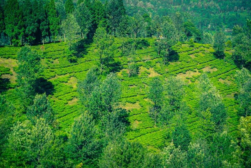 Φυτείες τσαγιού με την άποψη από την κορυφή και το δέντρο στα βουνά στο bogor puncak στοκ εικόνα