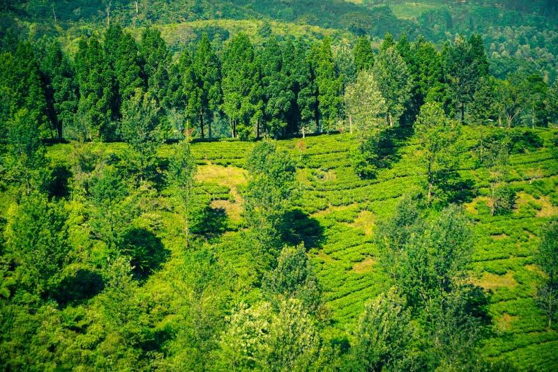 Φυτείες τσαγιού με την άποψη από την κορυφή και το δέντρο στα βουνά στο bogor puncak στοκ φωτογραφίες με δικαίωμα ελεύθερης χρήσης