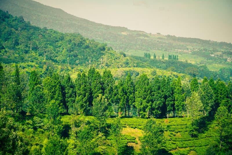 Φυτείες τσαγιού με την άποψη από την κορυφή και το δέντρο στα βουνά στο bogor puncak στοκ εικόνες