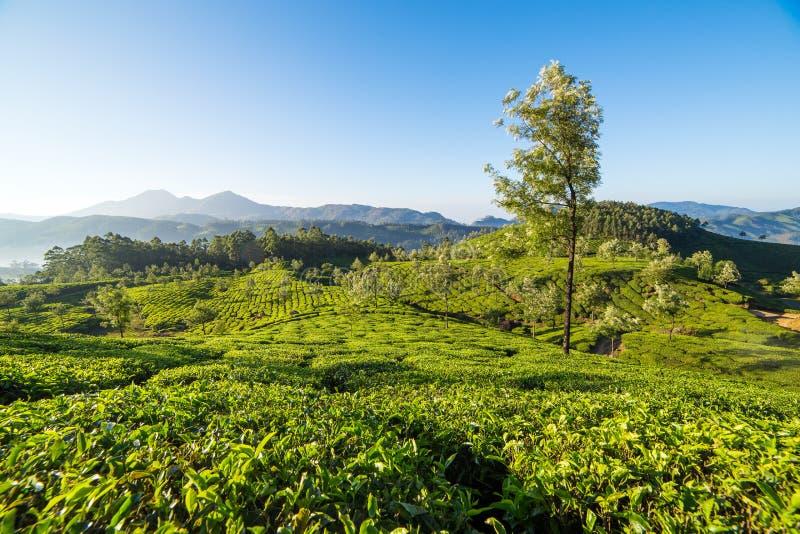 Φυτείες τσαγιού σε Munnar, Κεράλα στοκ εικόνες