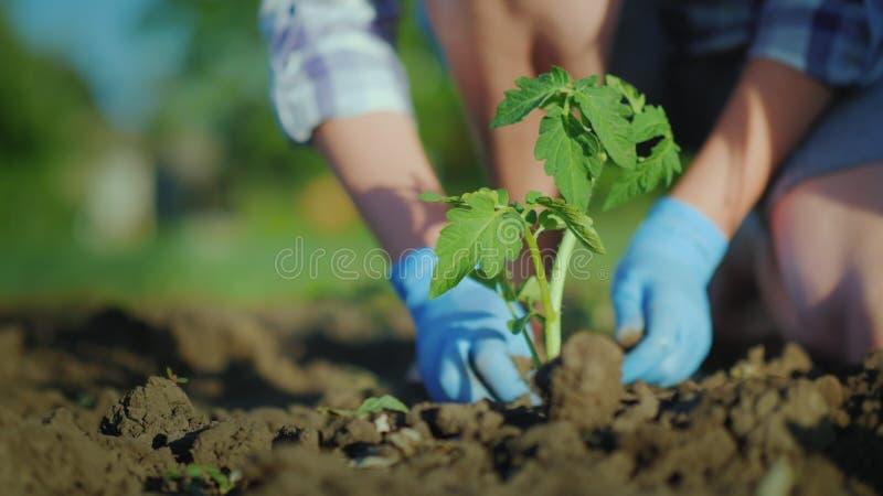 Φυτεψτε τα σπορόφυτα ντοματών στο έδαφος Τα χέρια πιέζουν ήπια το έδαφος γύρω από το νέο νεαρό βλαστό στοκ εικόνα