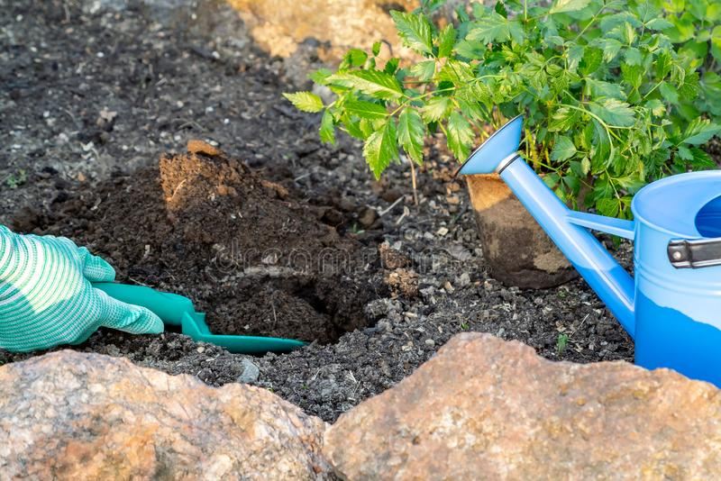 Φυτεύοντας τις εγκαταστάσεις Astilba στο rockery κρεβατιών λουλουδιών - σκάβοντας τρύπες στοκ εικόνα