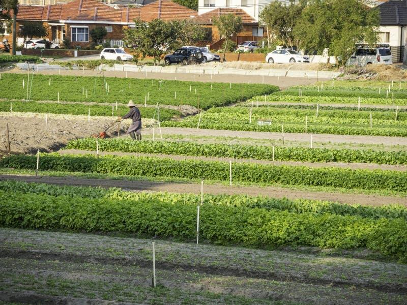 Φυτικός αγροτικός τομέας με έναν εργαζόμενο που εργάζεται σε το στοκ εικόνα με δικαίωμα ελεύθερης χρήσης