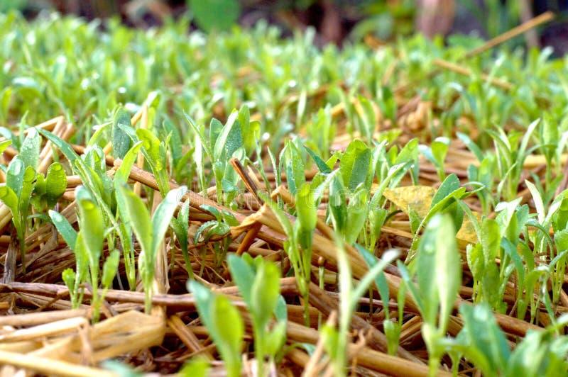 Φυτικός κήπος εγκαταστάσεων/λαχανικό στο χώμα/οργανικό φυτοφάρμακο για τα λαχανικά στοκ φωτογραφία