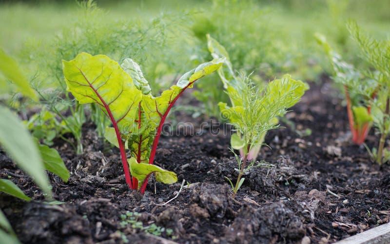 Φυτικός κήπος που αυξάνεται νέα ελβετικά Chard και τα χορτάρια στοκ φωτογραφία
