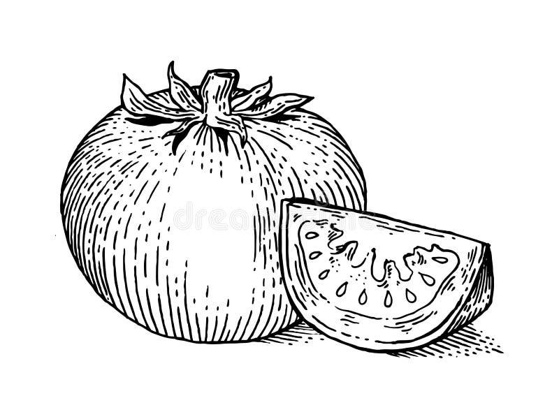 Φυτικό διάνυσμα ύφους χάραξης ντοματών απεικόνιση αποθεμάτων