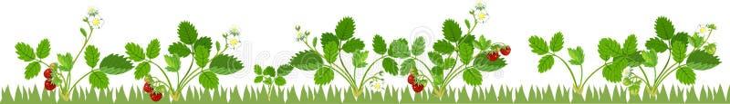 Φυτικό μπάλωμα με τα fruiting και ανθίζοντας φυτά φραουλών στο άσπρο υπόβαθρο ελεύθερη απεικόνιση δικαιώματος