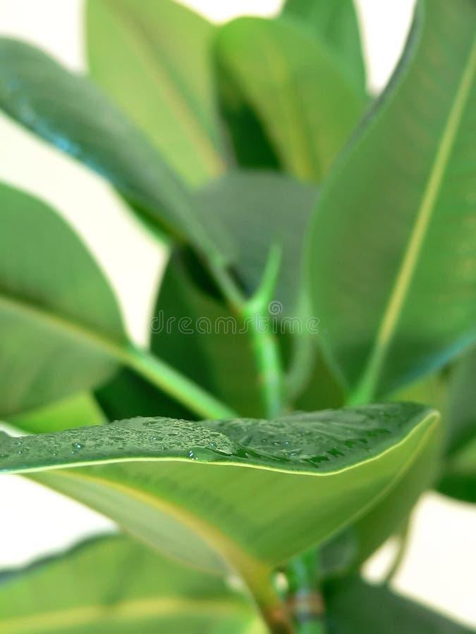φυτό βασικών φύλλων στοκ φωτογραφίες με δικαίωμα ελεύθερης χρήσης