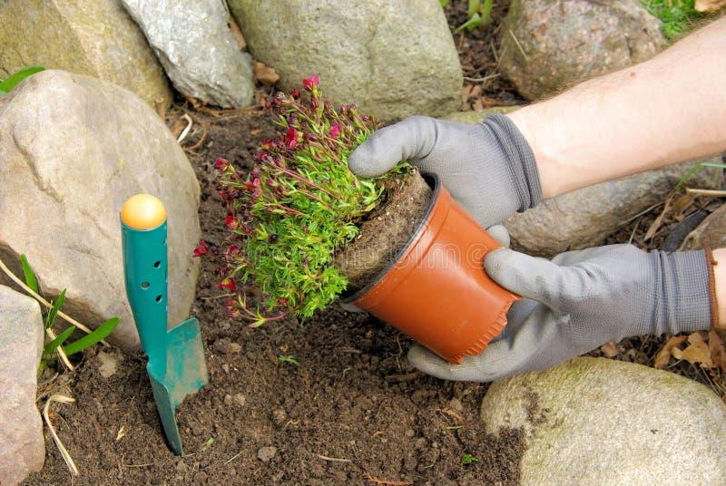 Φυτό ενός saxifraga bryoides στοκ φωτογραφία