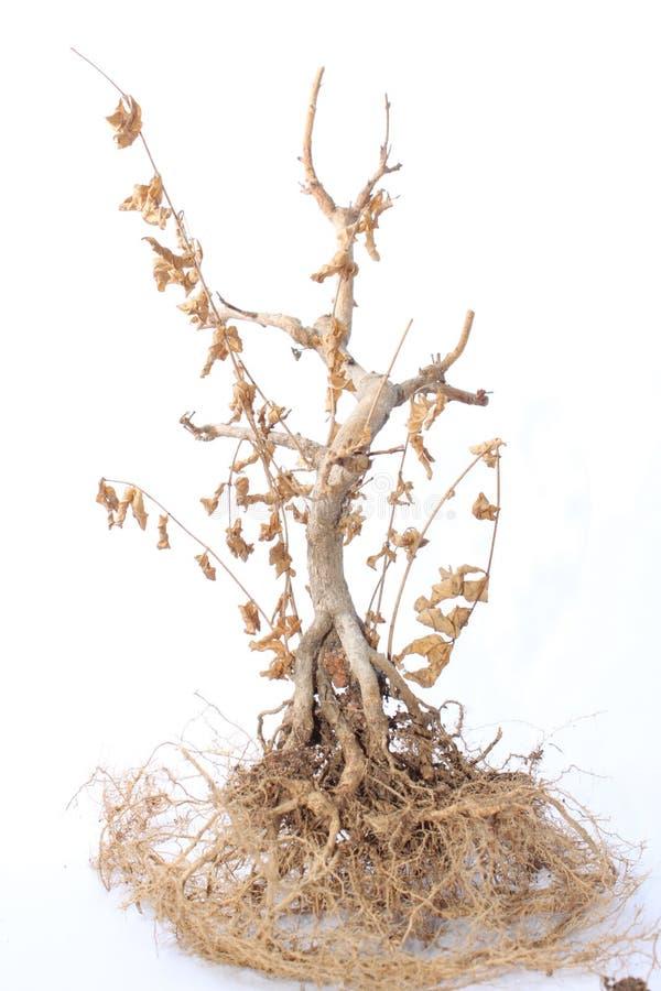 φυτό θανάτου στοκ εικόνες με δικαίωμα ελεύθερης χρήσης