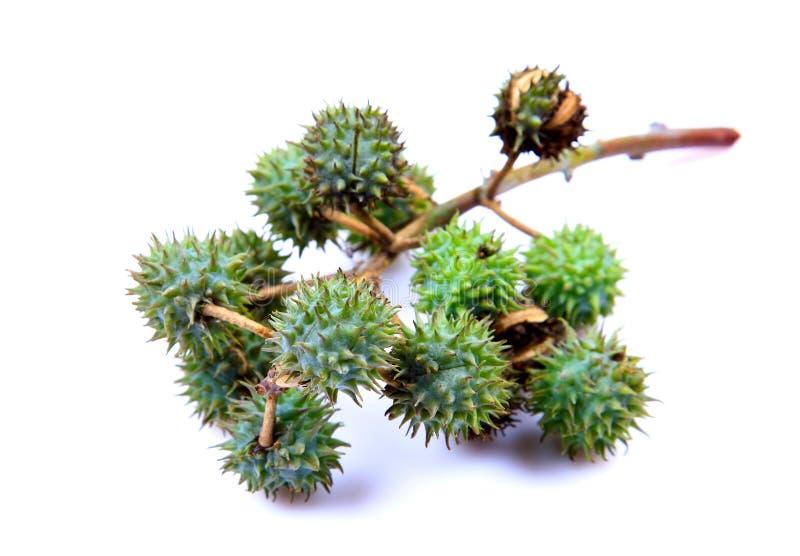 φυτό καρπών καστόρων στοκ εικόνες με δικαίωμα ελεύθερης χρήσης