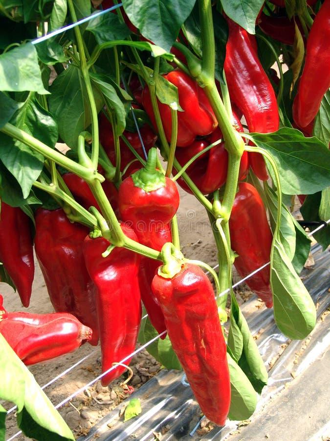 Φυτό κόκκινων πιπεριών στοκ εικόνες