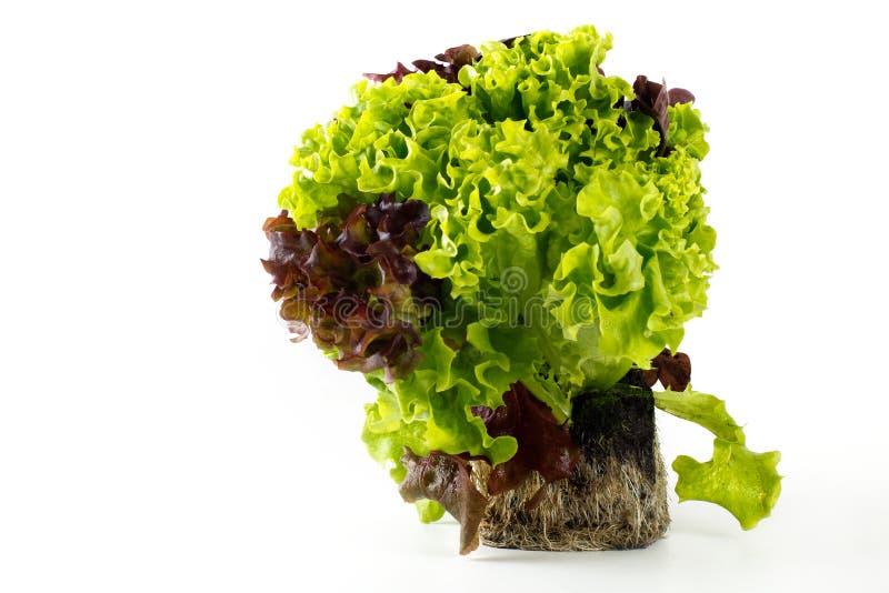 φυτό μαρουλιού στοκ φωτογραφίες με δικαίωμα ελεύθερης χρήσης