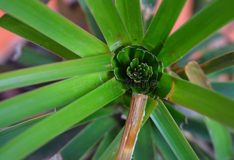 Φυτό με την ακτινοβολία των πράσινων φύλλων στο κυκλικό σχέδιο - αφηρημένη ταπετσαρία βοτανικής στοκ εικόνες