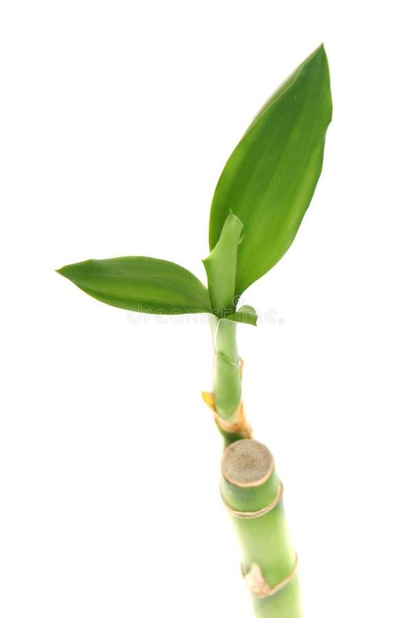 φυτό μπαμπού στοκ φωτογραφία