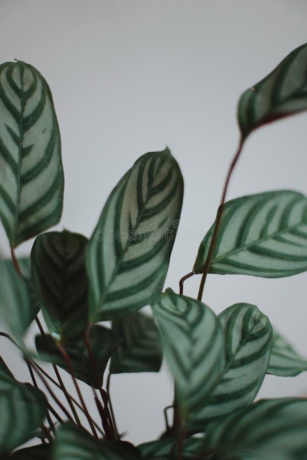 Φυτό 'Οικωών στοκ εικόνες με δικαίωμα ελεύθερης χρήσης