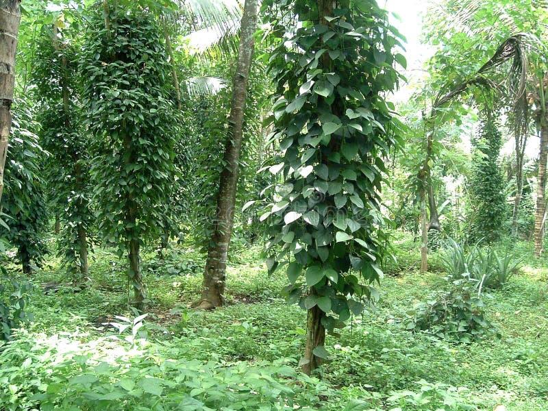 φυτό πιπεριών στοκ φωτογραφίες με δικαίωμα ελεύθερης χρήσης